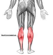 下半身筋肉図